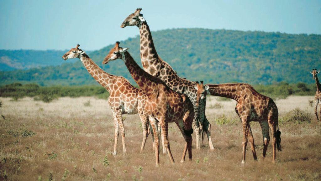 viaje a sudafrica jirafas